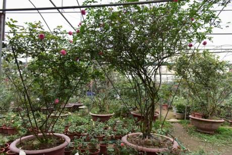 Hoa hong Thai Lan, Sa Pa gia hang chuc trieu choi Tet - Anh 4
