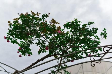 Hoa hong Thai Lan, Sa Pa gia hang chuc trieu choi Tet - Anh 5