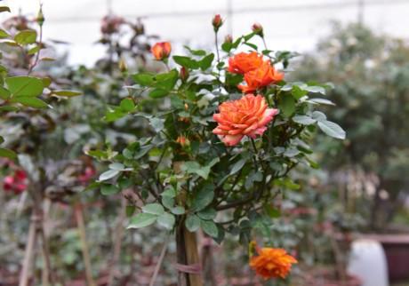 Hoa hong Thai Lan, Sa Pa gia hang chuc trieu choi Tet - Anh 7