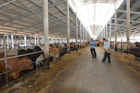 Nhiều đại gia đang đầu tư vỗ béo bò Úc và kiếm tiền tỉ. Ảnh: QH