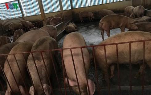Giá lợn hơi xuống kịch sàn, chỉ 25.000 đồng/kg