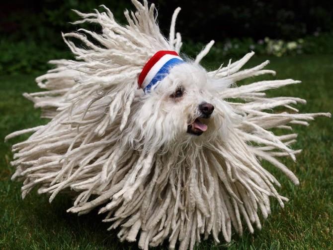 Beast là một sheepdog Hungary với áo khá ấn tượng.