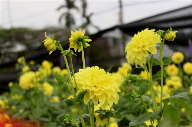 Làng hoa Tây Tựu trầm lắng dù cận ngày Quốc tế Phụ nữ 8.3 - Ảnh 3.