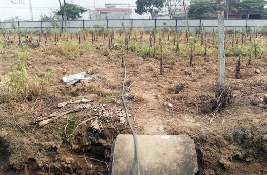 Anh Minh là người trồng ít chuối nhất tại khu đất dự án này, nhà nhiều nhất trồng tới 800 gốc chuối, nếu giá cả ổn định, mỗi năm thu nhập lên tới 50 triệu đồng.