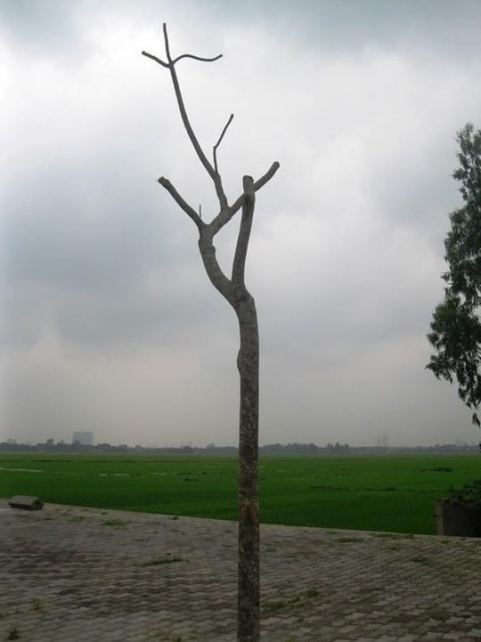 Nhiều cây chết cong queo chưa được thay thế