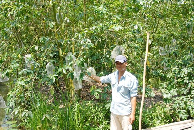 Việc bán mãng cầu sẽ mang lại cái lợi trước mắt cho nông dân, nhưng ảnh hưởng rất lớn về năng suất và độ tăng trưởng của cây. Ảnh: Ngọc Trinh.