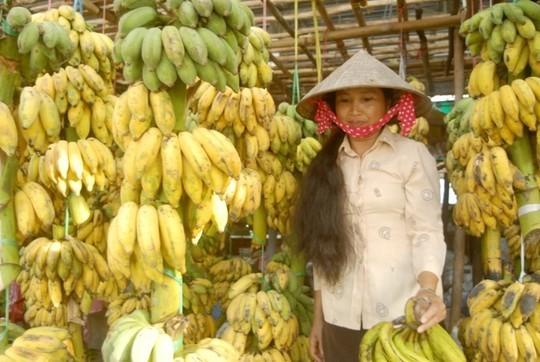 Chuối thường đến ngày là phải thu hoạch, nếu để chuối chín trên cây sẽ mất giá hoặc thương lái thông thu mua. Vì thông thường thương lái mua chuối còn sống để vận chuyển đi xa.