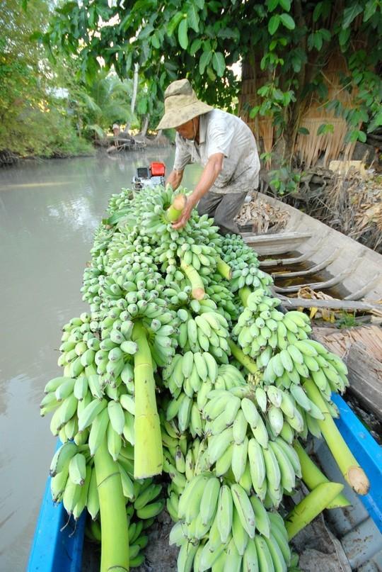 Lão nông Trần Văn Thông, ở xã An Khánh, huyện Châu Thành (Đồng Tháp) trồng 1ha chuối với 3 loại giống như chuối xiêm, cao và già cuôi cho biết: trồng chuối khỏe hơn các cây khác, cây ít bệnh nhưng cho trái quanh năm. Bình quân mỗi năm vườn của ông thu nhập 250 triệu đồng.
