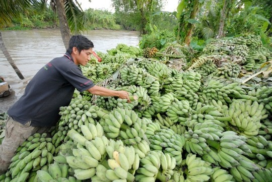 Chuối miền Tây được liệt vào danh sách trái cây sạch, vì đa phần nông dân trồng ít sử dụng phân bón hay thuốc trừ sâu.