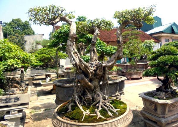siêu cây cảnh, bán rong, Nam định, Sơn Tây, giá trị, cây cảnh, siêu-cây-cảnh, bán-rong