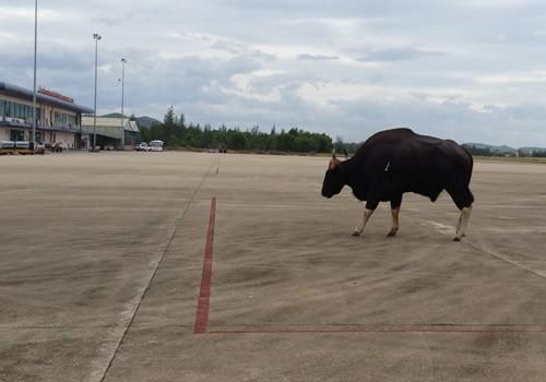 Con bò tót gây uy hiếp an toàn hàng không tại sân bay Phú Bài ngày 23/7/2012