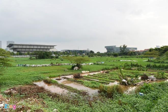 Trồng rau, chăn trâu trên đất dự án tháp tỷ đô