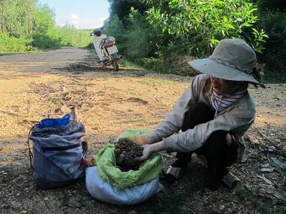 hạt dẻ, nhặt hạt dẻ, ăn hạt dẻ, vào rừng nhặt dẻ, Quảng Bình, hạt dẻ rụng, rừng dẻ, hạt-dẻ, nhặt-hạt-dẻ, ăn-hạt-dẻ, vào-rừng-nhặt-dẻ, Quảng-Bình, hạt-dẻ-rụng, rừng-dẻ