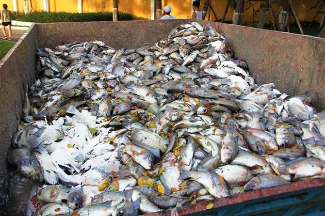 cá chết, cá chết nổi trắng, Đà Nẵng