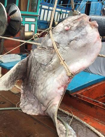 Ngư dân Nghệ An bắt được cá mặt trăng gần 1 tấn - ảnh 1