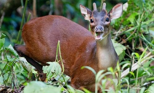 Hươu sừng đỏ Amazon