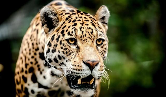 Báo đốm Nam Mỹ