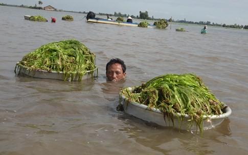 Người dân miền Tây lặn ngụp dưới nước lũ kiếm tiền chục triệu - ảnh 6