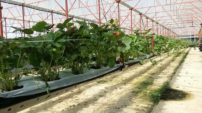 Thu tiền tỉ từ trồng dâu New Zealand trên giá thể xơ dừa1