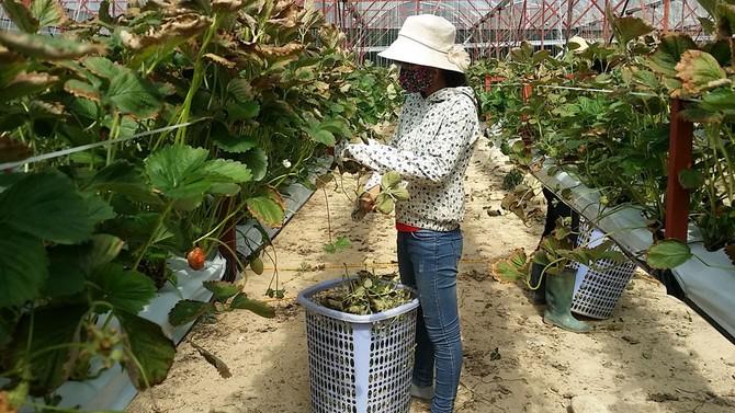 Thu tiền tỉ từ trồng dâu New Zealand trên giá thể xơ dừa10