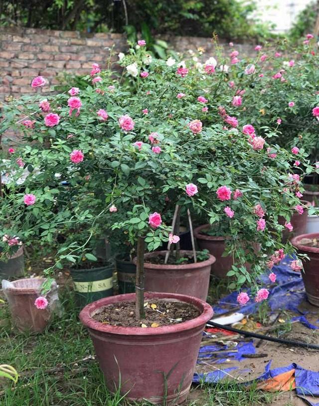 Âm thầm nghỉ việc, vay nặng lãi trồng 6.000 gốc hồng - Ảnh 2.