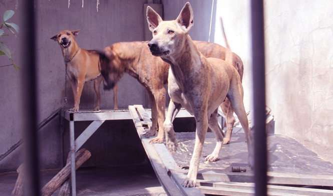 Chàng trai 8X nuôi cơ ngơi chó Phú Quốc thu hàng trăm triệu đồng ở Sài Gòn - ảnh 1