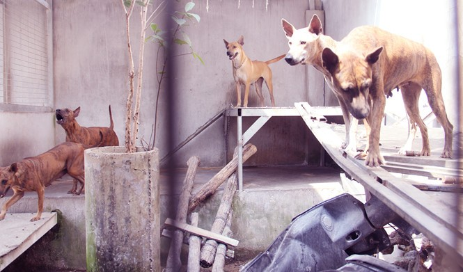 Chàng trai 8X nuôi cơ ngơi chó Phú Quốc thu hàng trăm triệu đồng ở Sài Gòn - ảnh 6