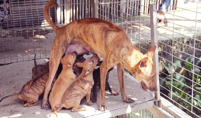 Chàng trai 8X nuôi cơ ngơi chó Phú Quốc thu hàng trăm triệu đồng ở Sài Gòn - ảnh 12