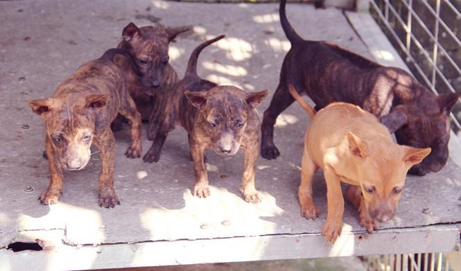 Chàng trai 8X nuôi cơ ngơi chó Phú Quốc thu hàng trăm triệu đồng ở Sài Gòn - ảnh 11