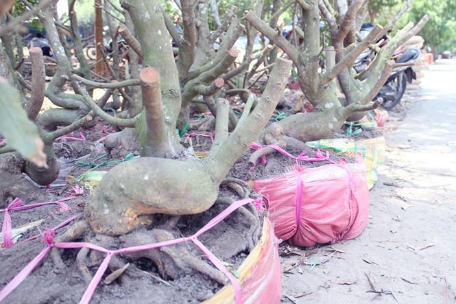 Người Sài Gòn thu tiền tỉ nhờ bán cả trăm gốc mai bonsai sau tết - ảnh 14