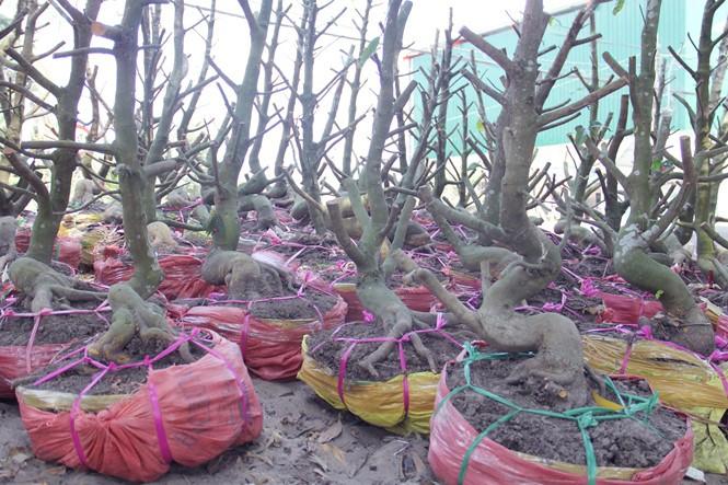 Người Sài Gòn thu tiền tỉ nhờ bán cả trăm gốc mai bonsai sau tết - ảnh 12