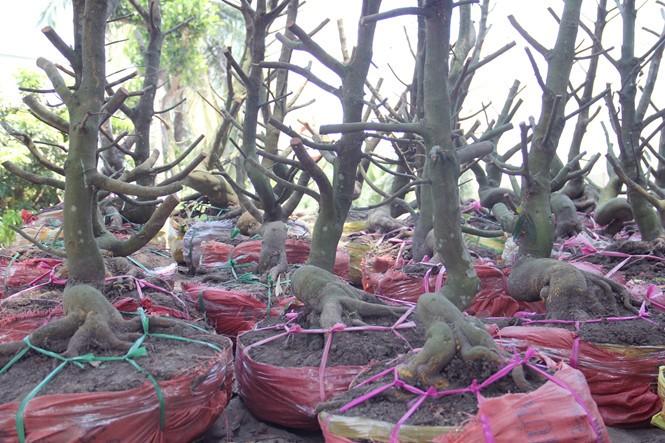 Người Sài Gòn thu tiền tỉ nhờ bán cả trăm gốc mai bonsai sau tết - ảnh 13