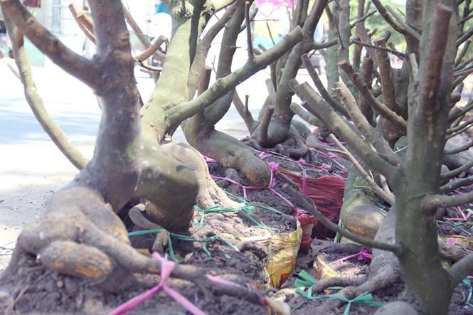 Người Sài Gòn thu tiền tỉ nhờ bán cả trăm gốc mai bonsai sau tết - ảnh 2