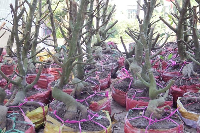 Người Sài Gòn thu tiền tỉ nhờ bán cả trăm gốc mai bonsai sau tết - ảnh 10