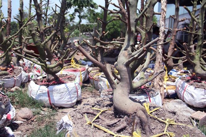 Người Sài Gòn thu tiền tỉ nhờ bán cả trăm gốc mai bonsai sau tết - ảnh 9