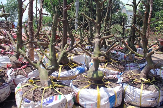 Người Sài Gòn thu tiền tỉ nhờ bán cả trăm gốc mai bonsai sau tết - ảnh 8