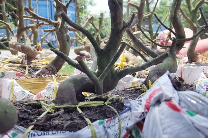Người Sài Gòn thu tiền tỉ nhờ bán cả trăm gốc mai bonsai sau tết - ảnh 7