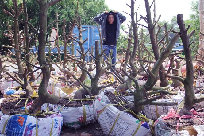 Người Sài Gòn thu tiền tỉ nhờ bán cả trăm gốc mai bonsai sau tết - ảnh 5