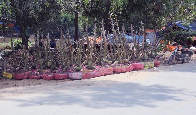 Người Sài Gòn thu tiền tỉ nhờ bán cả trăm gốc mai bonsai sau tết - ảnh 6