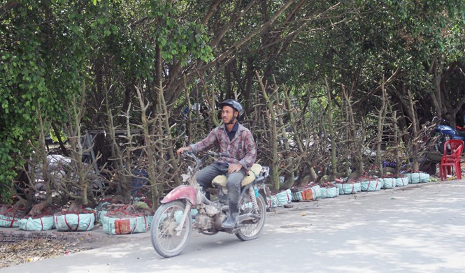 Người Sài Gòn thu tiền tỉ nhờ bán cả trăm gốc mai bonsai sau tết - ảnh 4