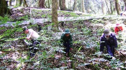 Người dân chăm sóc vườn sâm ở núi Ngọc Linh. Ảnh: Hoàng Thọ