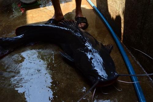 cá lăn, ngư dân, Đắk Lắk, sông Sêrêpốk