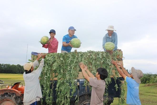 Chia sẽ với những khó khăn của người nông dân, nhiều tổ chức cá nhân ở Hà Nội vào tận các vườn dưa mua cho nông dân với giá cao hơn so với thương lái.