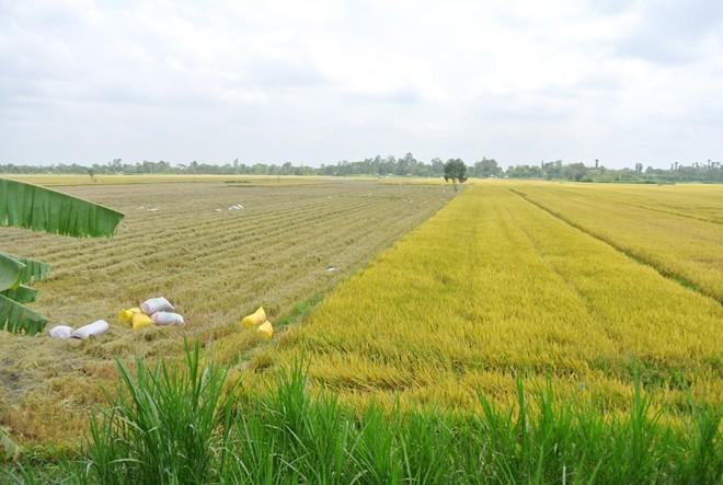 Thương lái tranh mua, người miền Tây bán rơm nhanh hơn lúa