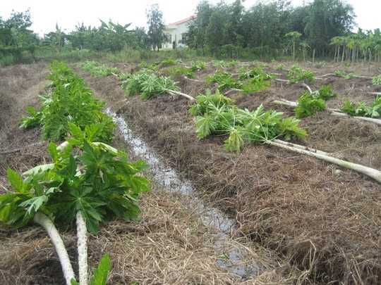 Đu đủ bị đốn hạ để trồng chanh không hạt với những mong giá bán luôn cao