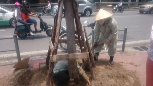 Thanh tra vụ trồng cây 'lộ' túi bọc bầu - ảnh 1
