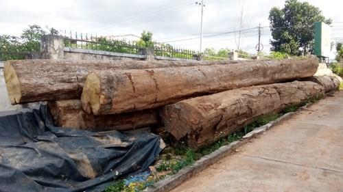 2 xe bò vàng gỗ lậu bị đưa về trụ sở Hạt kiểm lâm H.Ngọc Hồi - 2