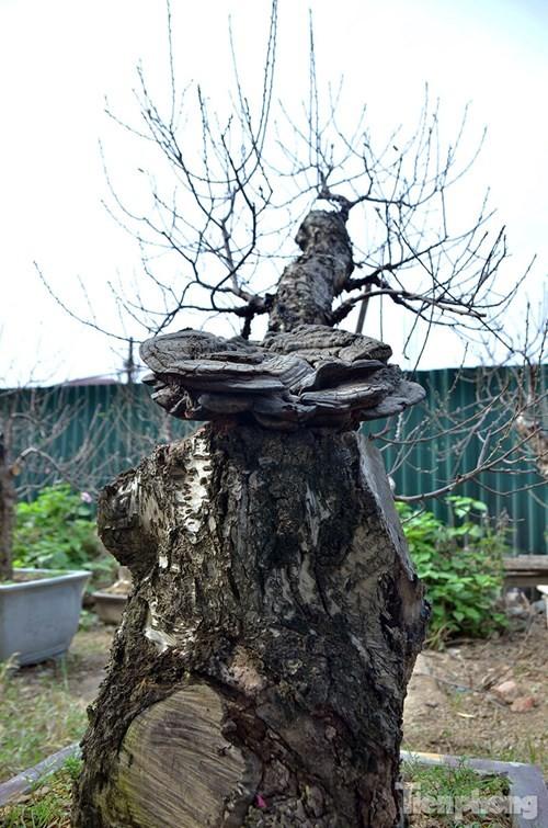 Vườn đào như 'củi mục' giá thuê chục triệu ở Hà thành - ảnh 3