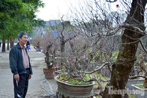 Vườn đào như 'củi mục' giá thuê chục triệu ở Hà thành - ảnh 15