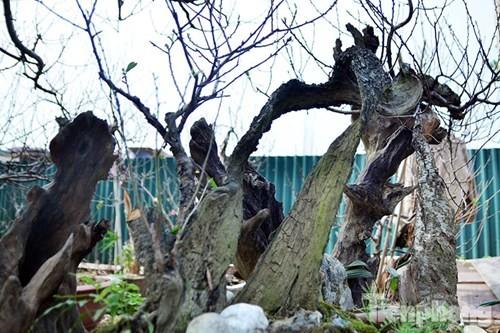 Vườn đào như 'củi mục' giá thuê chục triệu ở Hà thành - ảnh 10
